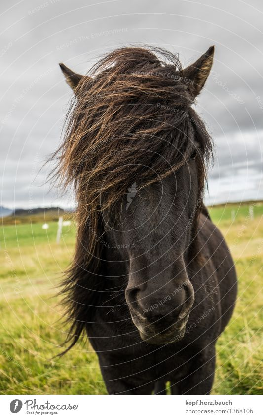 wind Iceland Animal Horse Icelandic horse Bangs Icelander 1 Looking Stand Cool (slang) Brash Wild Power Serene Wind Mane Black Unwavering Colour photo