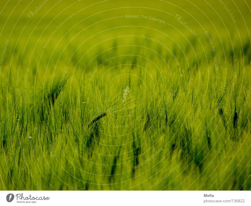 Green Plant Far-off places Spring Field Waves Environment Growth Soft Protection Grain Agriculture Harvest Ecological
