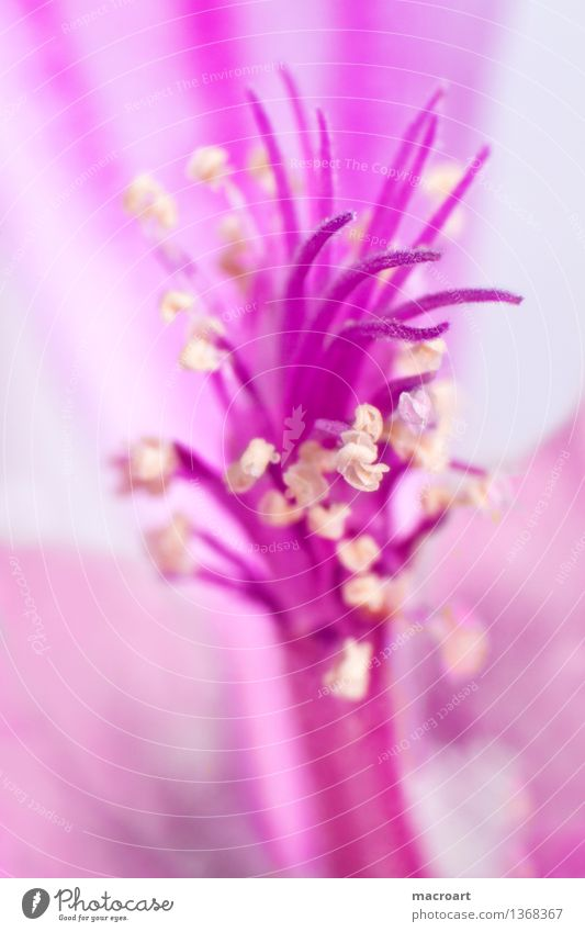 Nature Plant Summer Flower Blossom Spring Natural Pink Blossoming Pollen Extreme Stamen Mallow plants