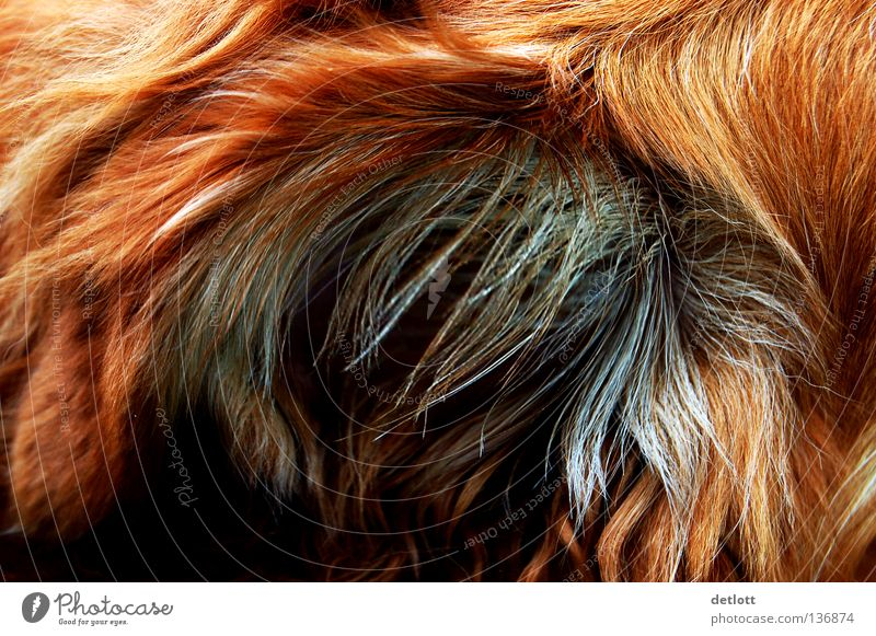 grimling? Pelt Red Brown Black Dog Cat Mysterious Animal Mammal Detail Hair and hairstyles bizarre