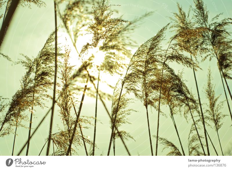 The waves of the wind Common Reed Grass Wind Delicate Small Easy Lake Habitat Spring Juncus Blade of grass Grassland Plant Meadow Back-light Sun Dazzle