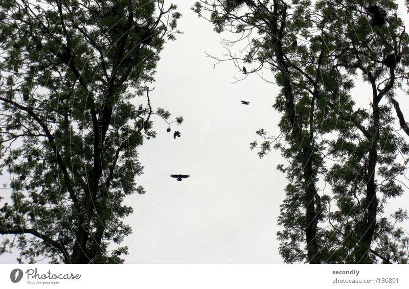 Dickmadam Small Tree Bird Raven birds Nest Silhouette Gray Green Beautiful 1 Sky Lush