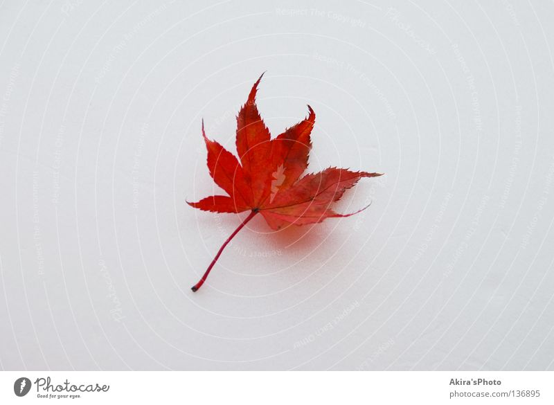 Colored leaves Japan Autumn leaf white To fall one flag