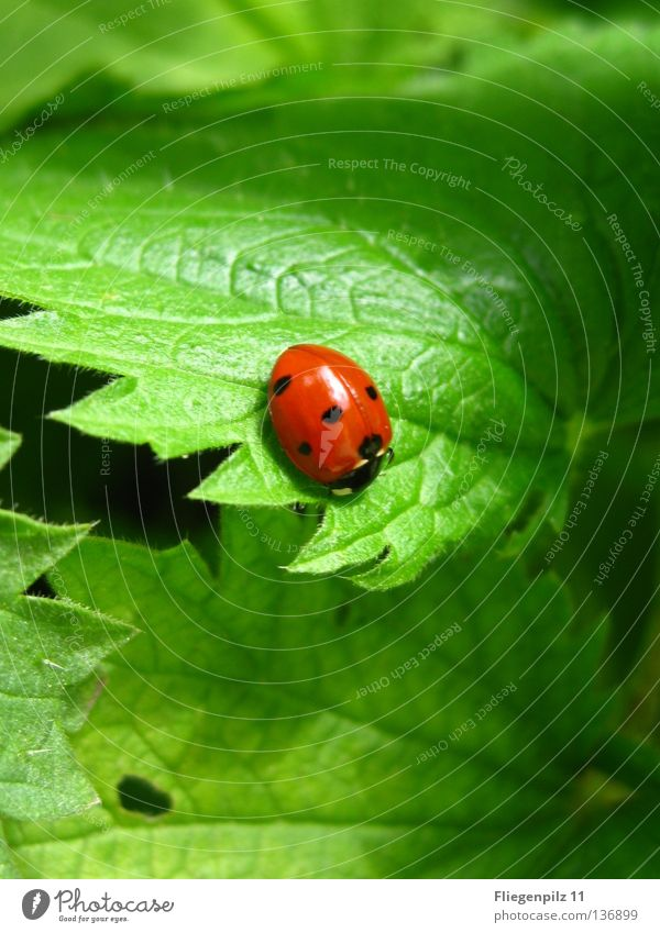 Ladybird on nettle 2 Nature Plant Leaf Animal 1 Discover Relaxation Bright Natural Juicy Green Red Happy Contentment Beautiful Calm Stinging nettle Grass green