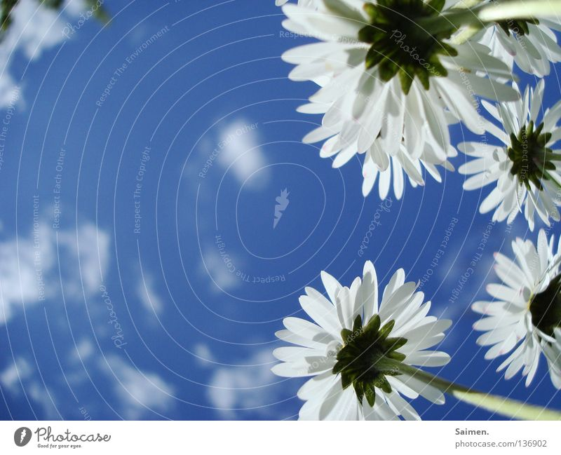 Sky White Flower Blue Clouds Far-off places Spring Freedom Bright Small Large Force Perspective In pairs Pure Stalk