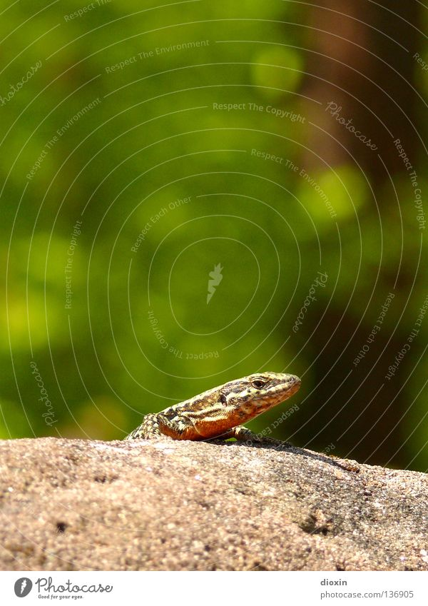 Nature Sun Animal Small Wall (barrier) Rock Speed To enjoy Tails Barn Reptiles Heat Claw Vineyard Saurians Lizards
