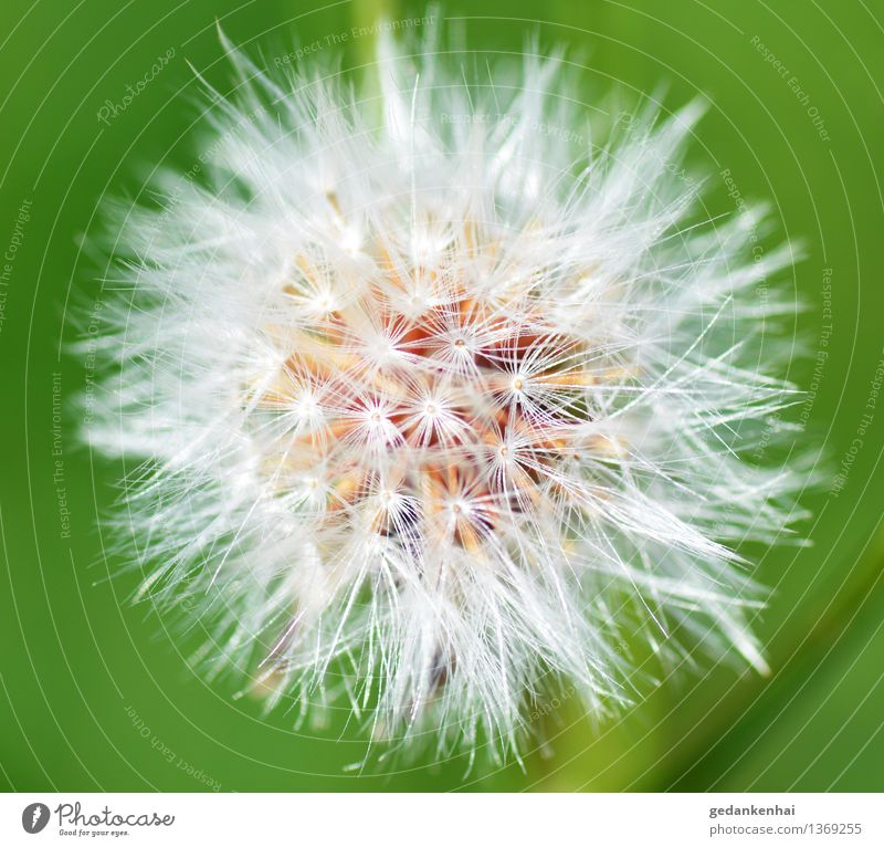 dandelion Environment Nature Plant Blossom Wild plant Garden Blossoming Flying Beautiful Spring fever Calm Delicate Ease Green Colour photo Exterior shot