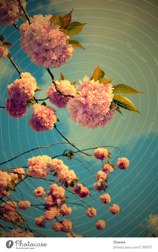 Sky Tree Flower Blossom Spring Pink Kitsch Branch Twig Fragile Lovely