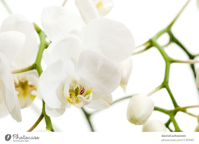 Nature White Beautiful Flower Blossom Bright Background picture Branch Clean Pure Delicate Macro (Extreme close-up) Virgin forest Exotic Bud Orchid