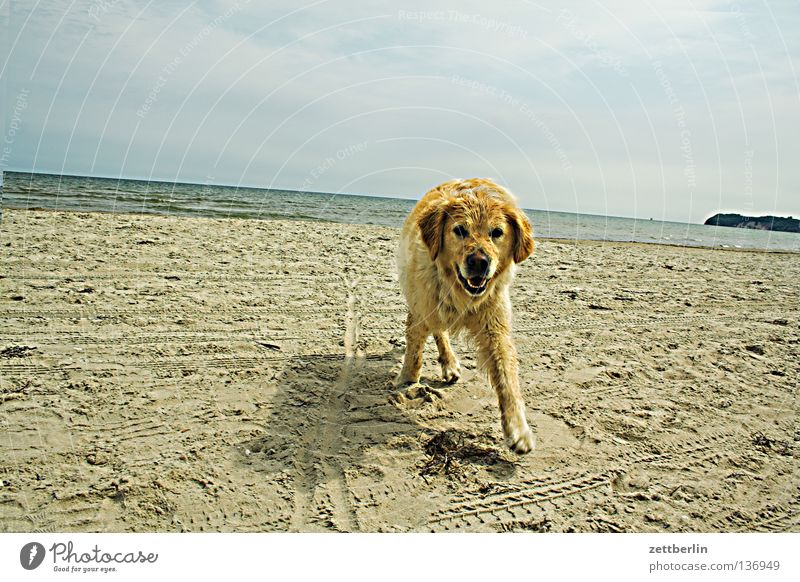 Foreign dog Dog Places Golden Retriever Beach Coast Mecklenburg-Western Pomerania Vacation & Travel Horizon Mammal Summer sit Get stick Sand Baltic Sea Trip
