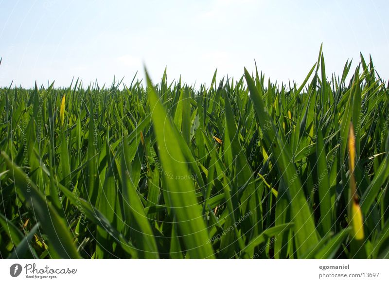 grass Grass Field Meadow Green Close-up Horizon Blade of grass Growth Grain Nature Detail Sky Plant sow thrive