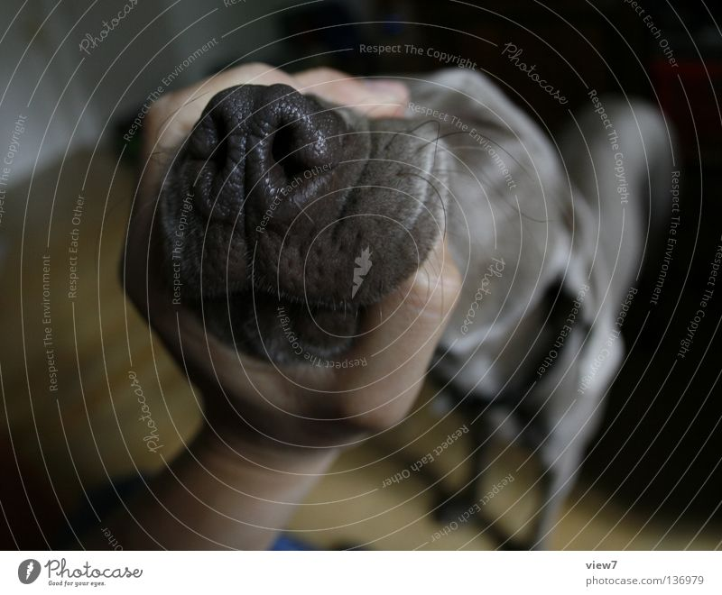 Shut the fuck up! Dog Weimaraner Snout Hand Wide angle Near Pushing Narrow Annoying Anguish Gray Across Mammal Anger Aggravation To hold on Muzzle Funny Nose