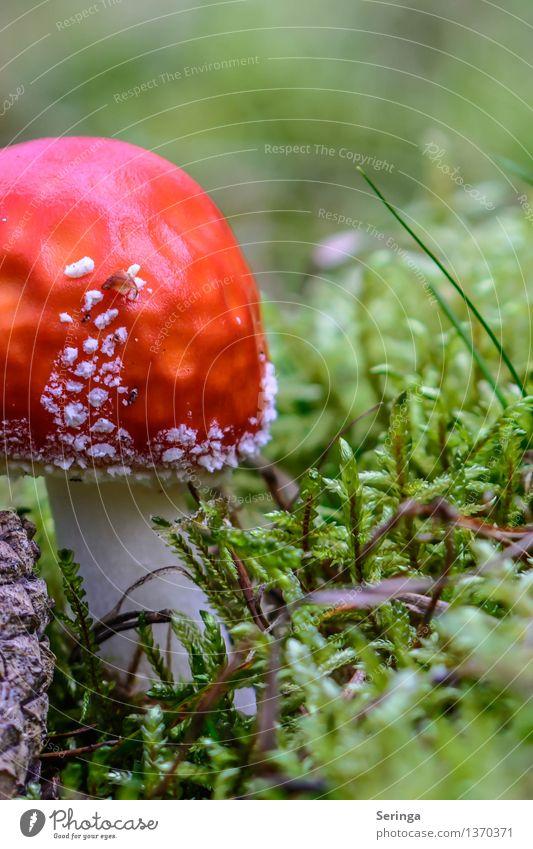 scrumptious Environment Nature Landscape Plant Animal Grass Moss Fern Garden Park Meadow Field Forest Growth Amanita mushroom Mushroom Mushroom cap Colour photo