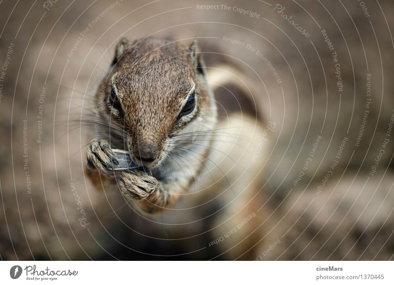 hungry chipmunk Animal Wild animal Eastern American Chipmunk Squirrel 1 Observe Eating To feed To enjoy Stand Elegant Near Curiosity Cute Smart Speed Brown