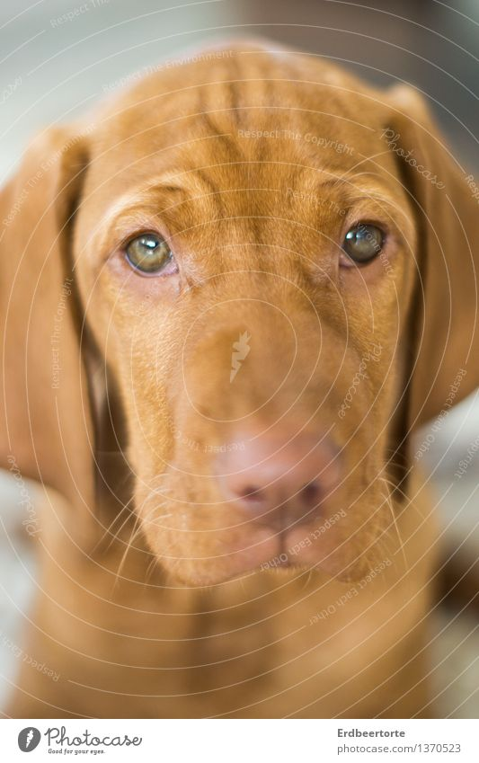 Dog Beautiful Animal Baby animal Sadness Brown Cute Soft Fatigue Pet Animal face Exhaustion Puppy Hound