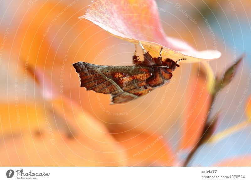 autumn butterfly Nature Plant Animal Autumn Tree Leaf Twigs and branches Autumnal colours Butterfly Dusky Screech Owl Insect Noctuid moth Cinnamon Scops Owl 1