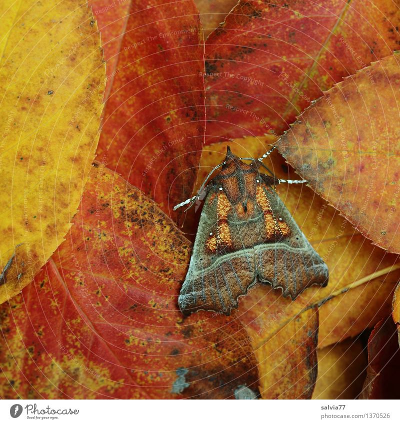 CAMOUFLAGE Nature Plant Animal Earth Autumn Leaf Butterfly Dusky Screech Owl Cinnamon Scops Owl Insect Moth 1 Brown Multicoloured Yellow Orange Red Design Calm