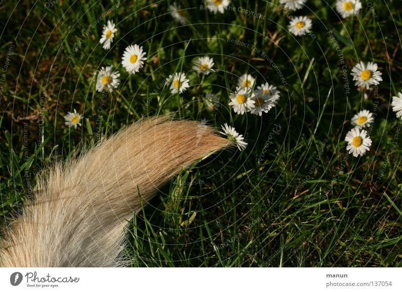 Flowertail Grass Meadow Tails Fishing rod Pelt Blonde Green Labrador Yellow Dog Animal Spring Summer Calm Daisy Paintbrush Mammal Garden dog's tail