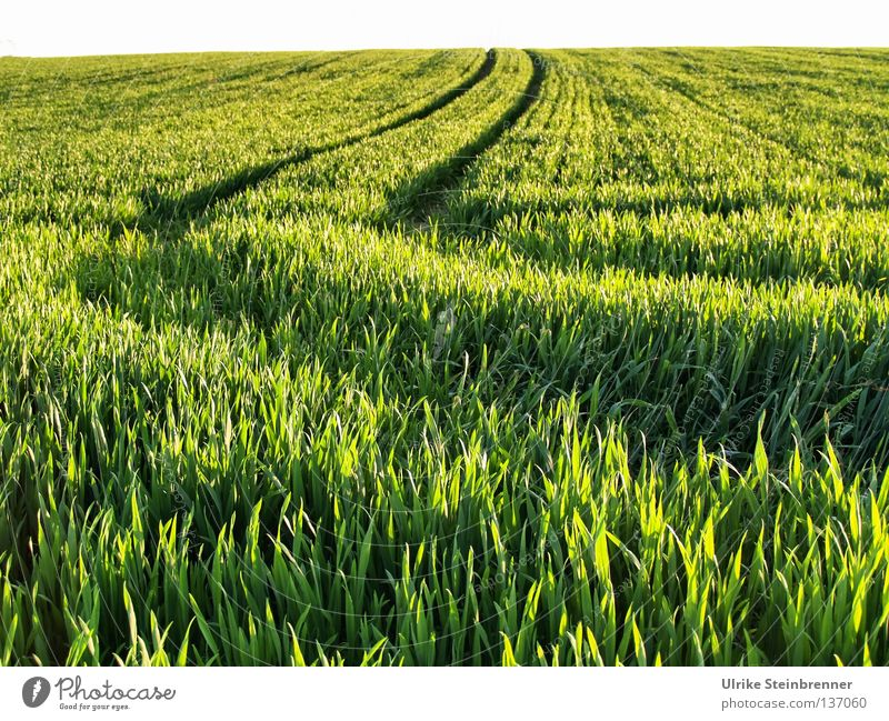Green field with lanes Exterior shot Grain Nutrition Nature spring Beautiful weather Foliage plant Agricultural crop Field Driving Growth Fresh natural green