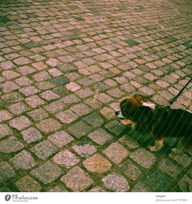 Dog Green Animal Street Small Going Crazy Walking Point Cute Rope To go for a walk Pelt Traffic infrastructure Cobblestones Square