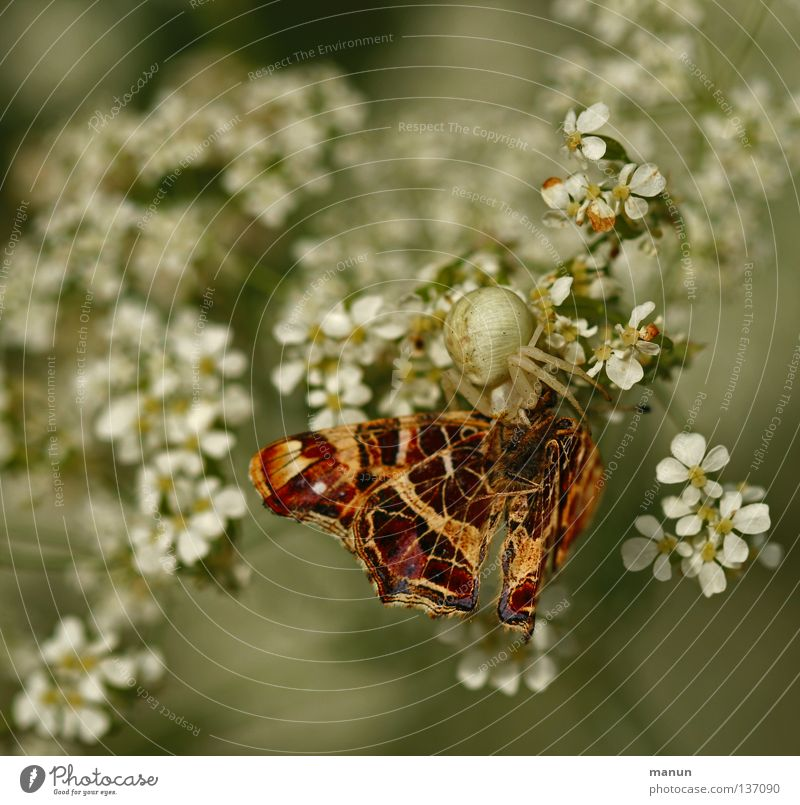 Poison bite in the butterfly neck Crab spider Butterfly Appetite Nutrition Articulate animals Spider Edge of the forest Insect Animal Blossom Flower White Brown