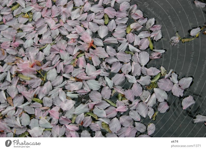 Water Leaf Blossom Pink Puddle Cherry Blossom leave
