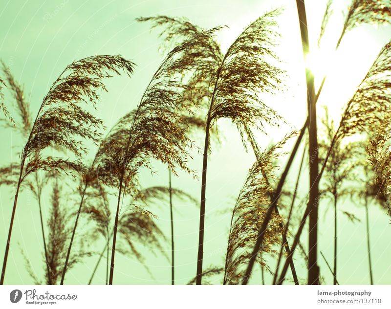 The waves of the wind II Common Reed Grass Wind Delicate Small Easy Lake Habitat Spring Juncus Blade of grass Grassland Plant Meadow Back-light Sun Dazzle