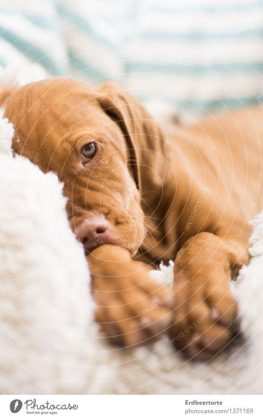 sulk Animal Pet Dog Puppy Hound 1 Baby animal Observe Relaxation Wait Brown Ben Vizsla Colour photo Subdued colour Interior shot Shallow depth of field