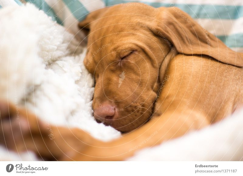 Sleeping dogs should not be awakened Animal Pet Dog Animal face Pelt 1 Baby animal Relaxation To enjoy Dream Small Soft Brown Fatigue Exhaustion Magyar Vizsla
