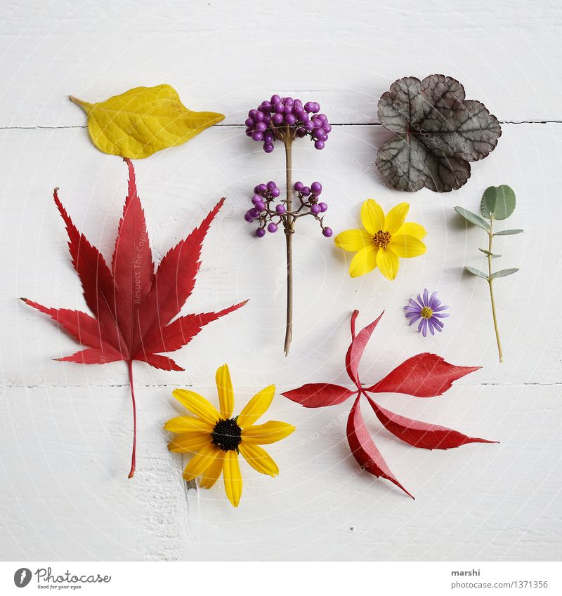 Autumn in garden III Nature Plant Garden Super Still Life Autumnal Flower Blossom Leaf Eucalyptus tree Maple tree Fruit Multicoloured Red Yellow Violet