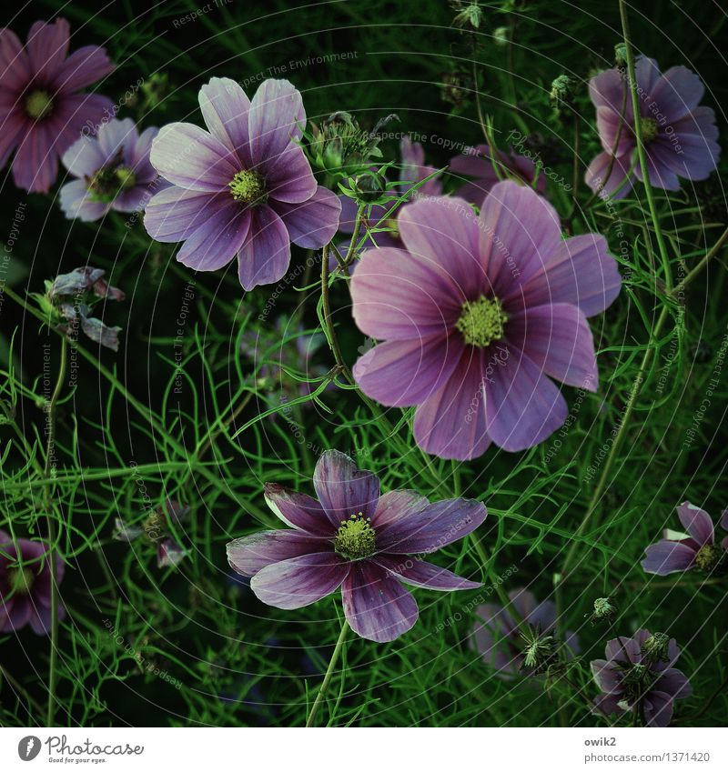 Cosmic jewellery basket Environment Nature Landscape Plant Beautiful weather Flower Blossom Cosmos Blossoming Fragrance Illuminate Growth Fresh Glittering Happy