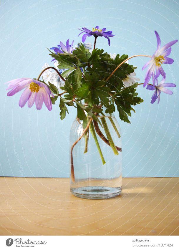 Spring in a glass Plant Flower Leaf Blossom Blossoming Spring flower Vase Glass Anemone Stalk Decoration Multicoloured Violet Pink Spring fever Bouquet