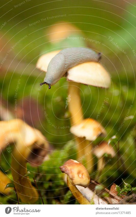 gastropoda Environment Nature Landscape Animal Mushroom Snail Slug Mollusk 1 Observe Eating Colour photo Exterior shot Deserted Copy Space bottom Day