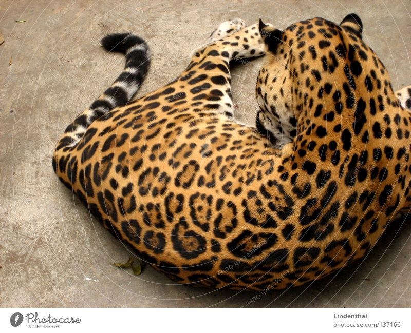 Wildcat relaxing Pelt Cat Pattern Panther Tails Animal Lick Clean Cleaning Mammal Lie Make Coat care Rear view Calm Serene