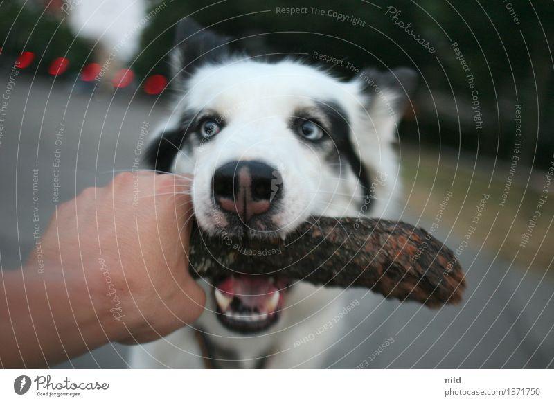 Grrrrrrrrrrr Leisure and hobbies Playing Park Animal Pet Dog 1 Wood Catch Together Fear Hand Grasp Bite Teeth Stick Friendship leika Hound Colour photo