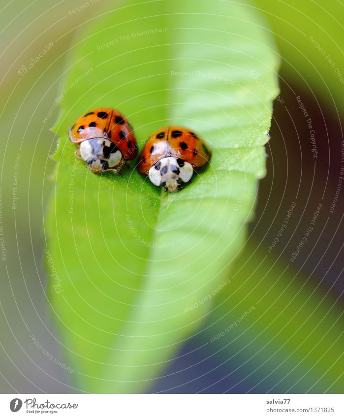 couple Nature Plant Animal Leaf Foliage plant Beetle Ladybird 2 Pair of animals Sit Happy Cute Above Positive Green Orange Relationship Colour Safety Team