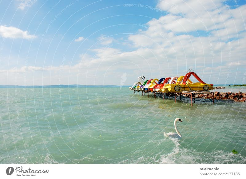 Summer Colour Playing Lake Bird Swan Hungary Hungarian Lake Balaton