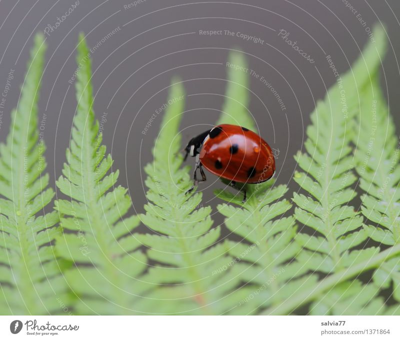 light-footed Plant Animal Summer Fern Leaf Foliage plant Beetle Ladybird Seven-spot ladybird 1 Crawl Glittering Small Positive Gray Green Red Happy Movement