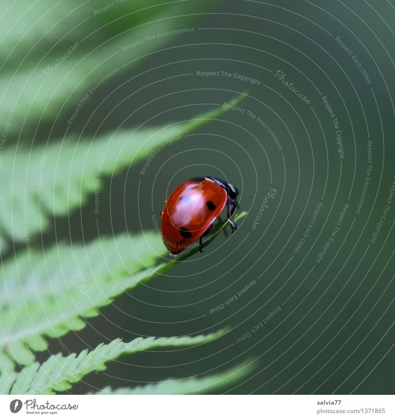 center Environment Nature Plant Animal Summer Fern Leaf Foliage plant Beetle Ladybird Seven-spot ladybird Insect 1 Crawl Fresh Glittering Happy Small Cute Above