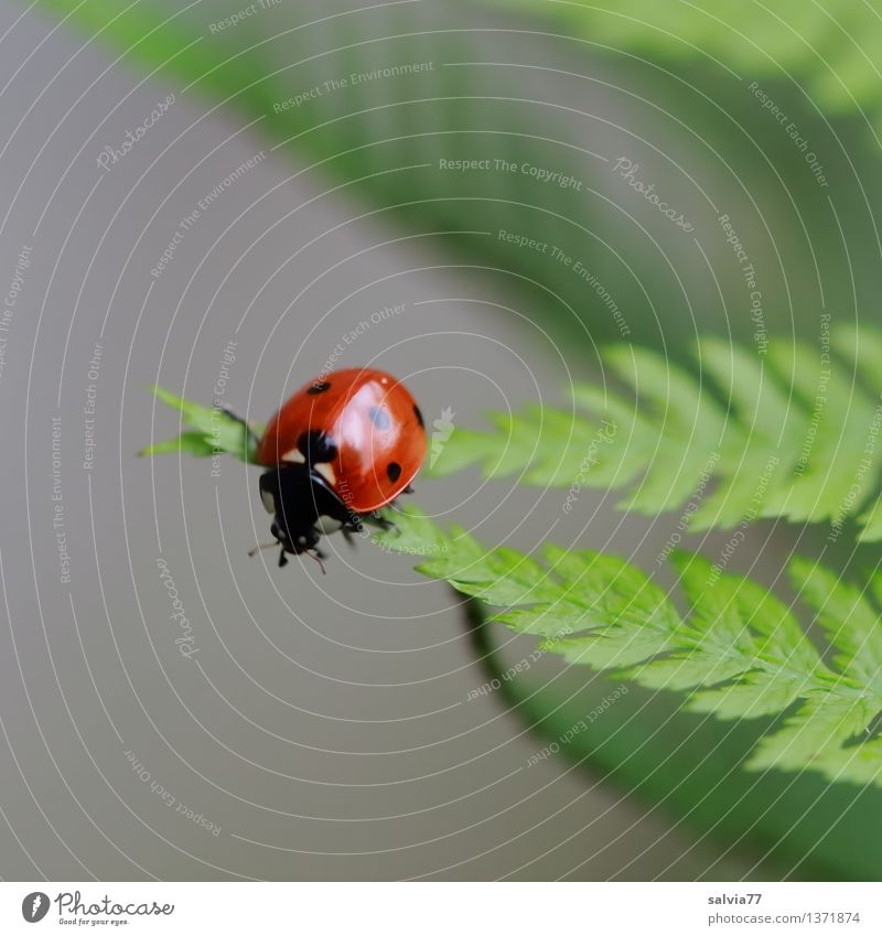 Tips united Nature Plant Animal Summer Fern Leaf Beetle Ladybird Seven-spot ladybird Insect 1 Crawl Esthetic Small Above Positive Gray Green Red Happy Movement
