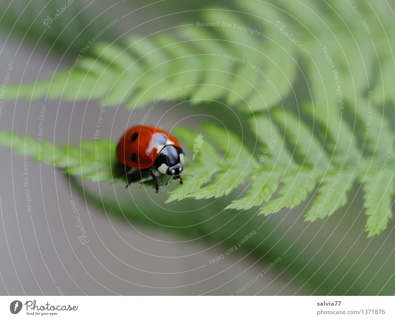 sheet by sheet Nature Plant Animal Summer Fern Leaf Foliage plant Beetle Ladybird Seven-spot ladybird Insect 1 Crawl Small Above Gray Green Red Ease