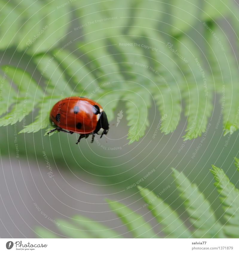 idle Nature Plant Animal Fern Leaf Beetle Ladybird Seven-spot ladybird Insect 1 Crawl Esthetic Cool (slang) Brash Small Curiosity Cute Above Green Red Stress