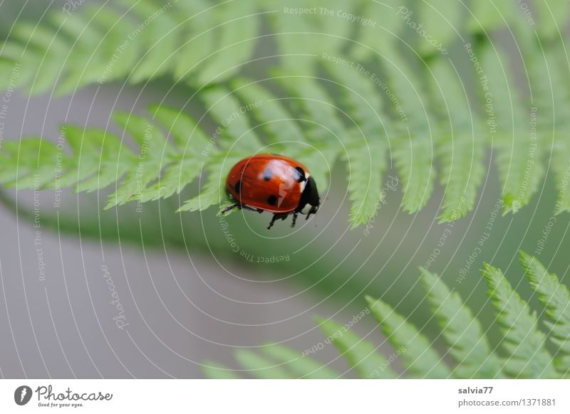 Step into emptiness Nature Plant Animal Summer Fern Leaf Foliage plant Beetle Seven-spot ladybird Ladybird Insect 1 Movement Crawl Small Cute Above Gray Green