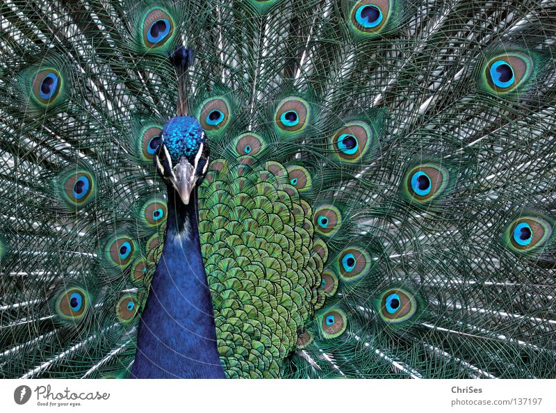 Peacock in pale blue_01 Bird Livestock Multicoloured Beautiful Conceited Cartwheel Posture Rutting season Presentation Animal Gray Green Beak Poultry