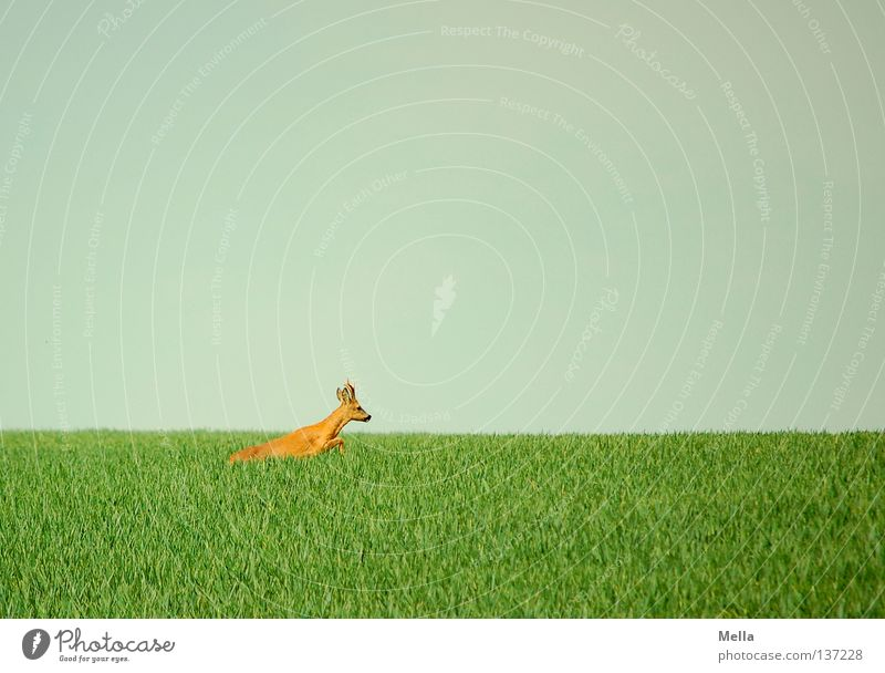 on the run Environment Nature Animal Sky Meadow Field Wild animal Roe deer reindeer buck 1 Walking Jump Free Natural Blue Green Freedom Escape Flee Colour photo
