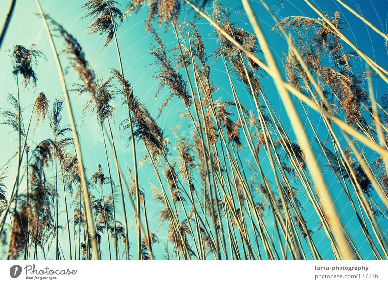 summertime Palm tree Palm frond Common Reed Grass Wind Delicate Small Easy Lake Habitat Spring Juncus Blade of grass Grassland Plant Meadow Back-light Dazzle