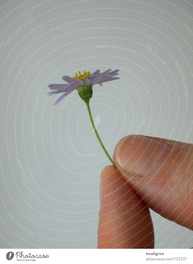 Picked Daisy Plant Flower Violet Yellow Green White Hand Fingers To hold on