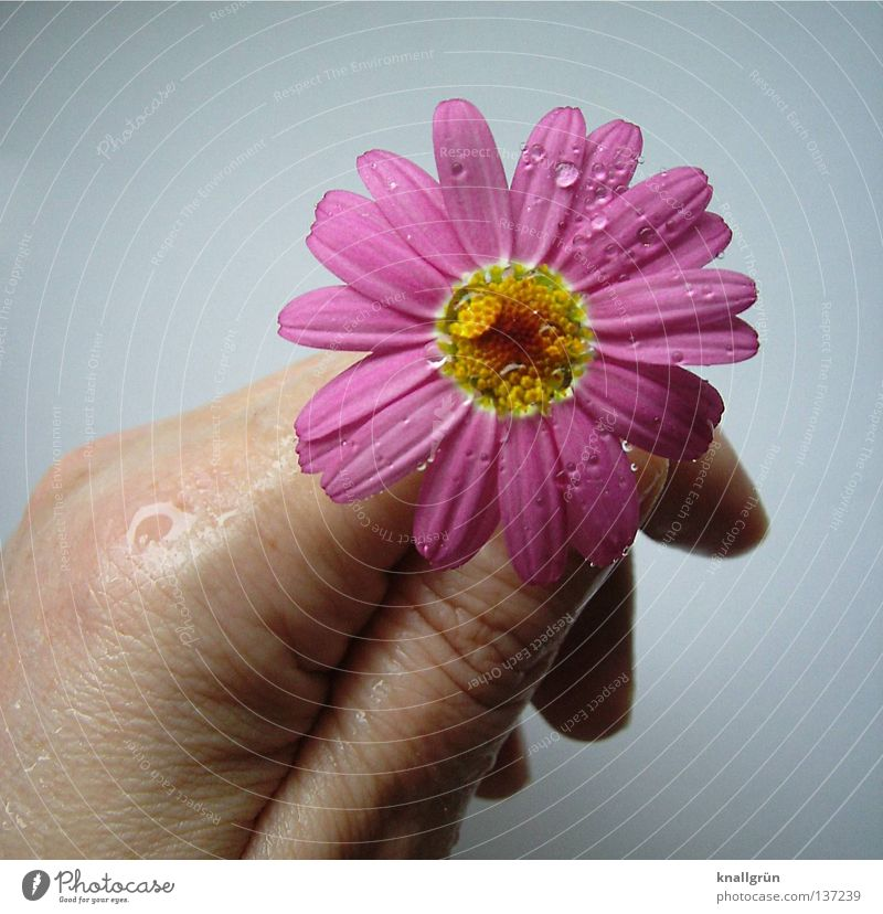 Hand Water White Flower Plant Yellow Bright Pink Drops of water Wet Fingers To hold on Damp Marguerite Blossom leave