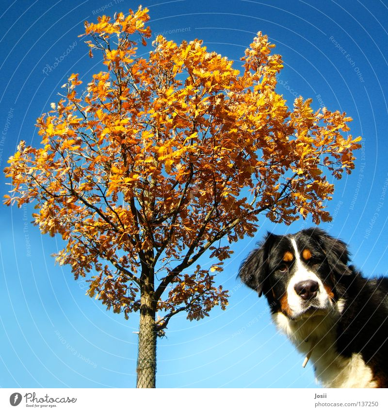 What are you looking at? Dog Tree Autumn Leaf Amazed Square Brown Fence Grating Neckband Snout Orange tree Mammal Looking huh Wind Blue Sky Bernese Mountain Dog