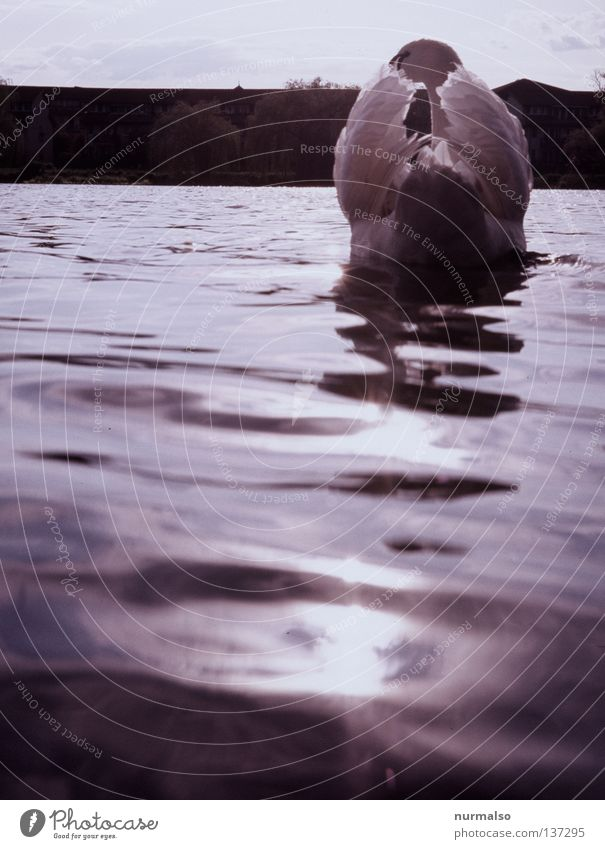 Good morning swan Swan Bird Snarl White Heraldic animal Animal Hunter Fairy tale Slip Horizon Beautiful Morning Light Feeding Waves River Brook Beach Coast